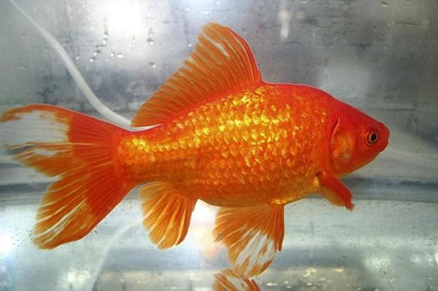 Mãe obrigou filha a comer 30 peixes dourados e foi presa no Japão (Foto: AP)