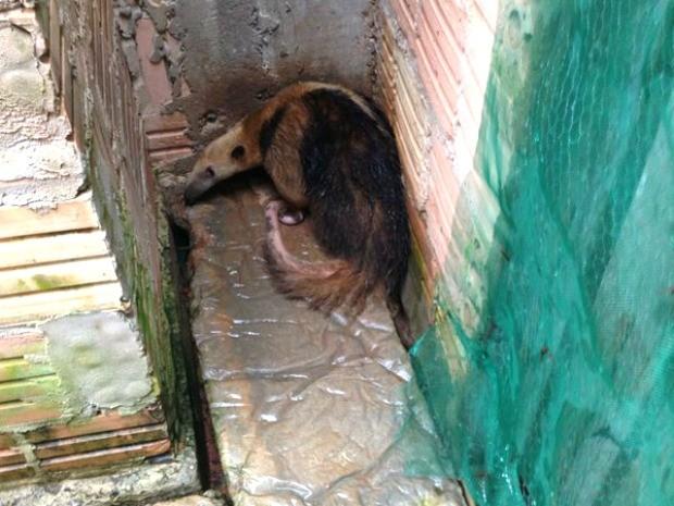 Um tamanduá-mirim foi resgatado pelo Corpo de Bombeiros dentro de uma residência no Bairro Novos Campos, em Sorriso, a 420 km de Cuiabá, nesta segunda-feira (24). De acordo com os bombeiros, a moradora acionou a corporação informando que o animal tinha entrado na casa dela. O animal foi solto em uma área de preservação próxima ao perímetro urbano de Sorriso. (Fot Corpo de Bombeiros de Sorriso-MT)