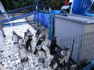 Animais são da espécie pinguins-de-magalhães (Foto: Divulgação/IPRAM)