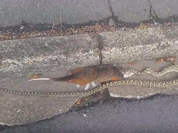 Cobra enorme choca pedestres ao atacar gambá em rua na Austrália (Foto: Reprodução/YouTube/Adrian Brand)