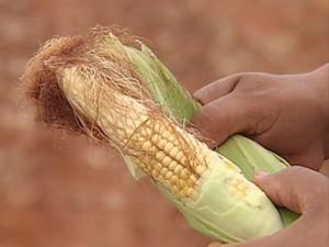 Plantações de milho tiveram foram perdidas com a falta de chuva (Foto: Reprodução/TV TEM)