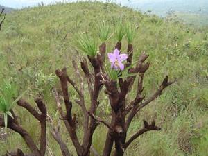 Canelas-de-ema, da vegetação de campo rupestre do Parque Estadual Serra do Rola-Moça. (Foto: Divulgação)