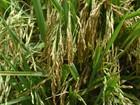 Produção de arroz deve ultrapassar 30 mil toneladas em Sergipe