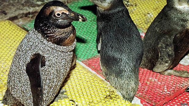 Agasalhos evitam que pinguins morram de frio ou intoxicados devido ao petróleo (Foto: Getty)
