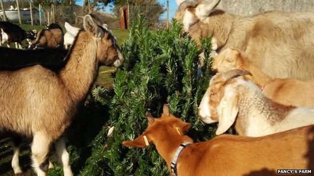 Animais arrancam folhagem das árvores e troncos são posteriormente usados na construção de casas em fazenda comunitária  (Foto: Fancys Farm)