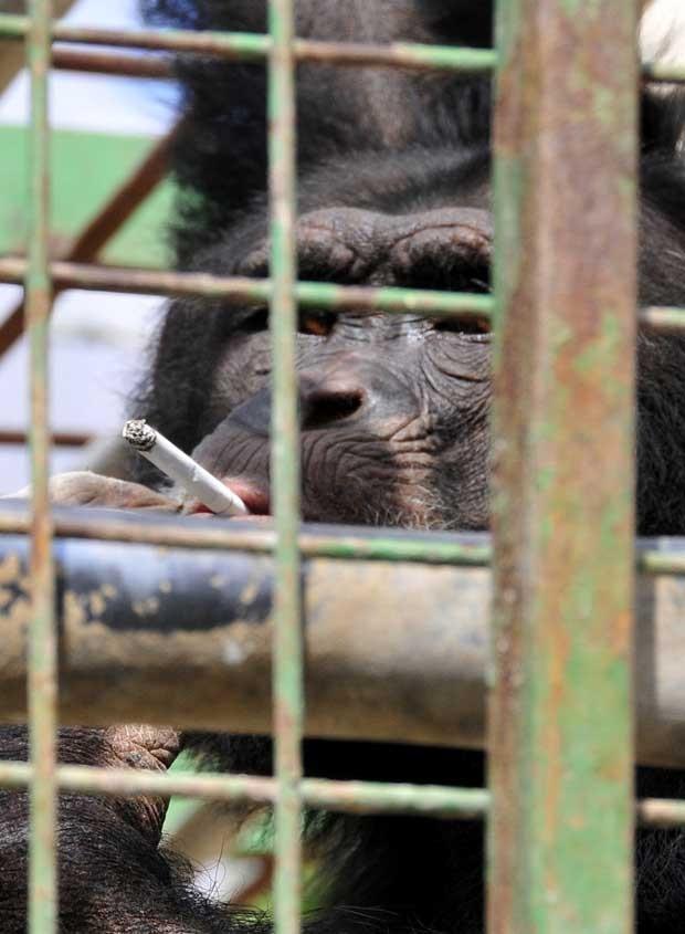 Enquanto vivia no zoológico da Ansar, no sul do Líbano, o chimpanzé chamado Ômega apreendeu a fumar. Segundo funcionários do zoo, visitantes davam cigarros para o animal. (Foto: Animals Lebanon/AP)