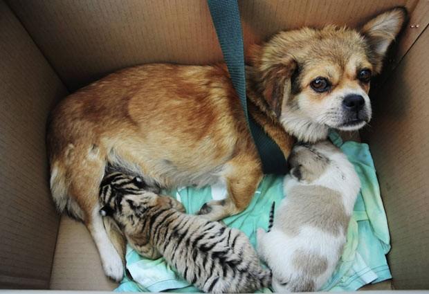 Em setembro de 2011, uma cadela amamentou filhotes de tigre siberiano no zoológico de Qingdao, na província de Shandong, na China. A cachorra virou babá de três filhotes nascidos no dia 18 de setembro de 2011 depois que sua mãe foi incapaz de alimentá-los. (Foto: China Daily/Reuters)