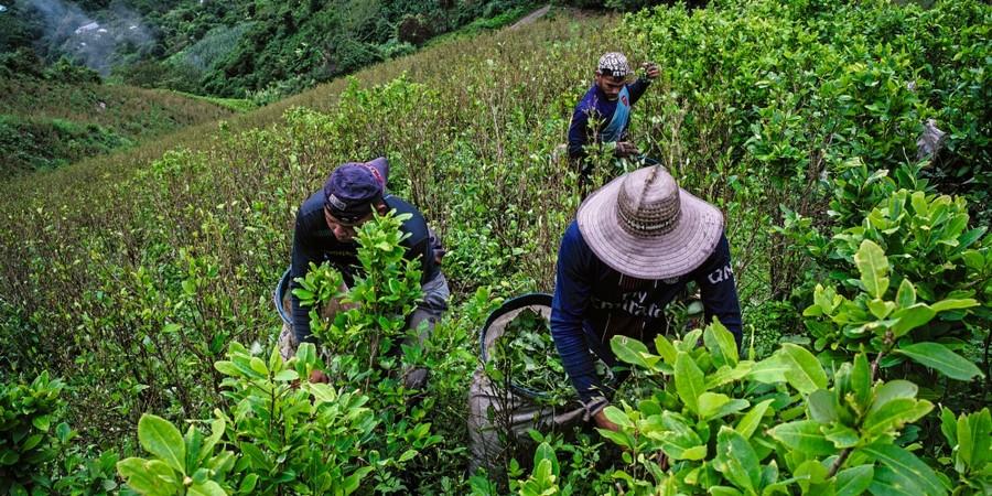 Coletores de coca fazem colheita de uma finca. (Foto: Frederico Rios Escobar/ Época )