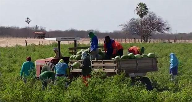 * Colheita de melancia deve chegar a 250 toneladas em Felipe Guerra, RN.