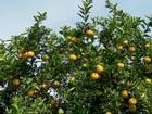 Produtores reclamam de burocracia para participar de leilões de laranja