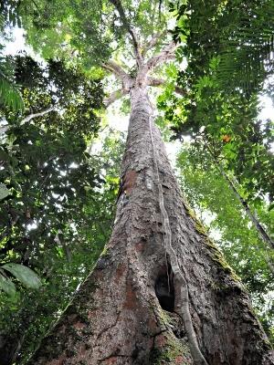 Dinizia Excelsa, a deusa maior da Floresta Amazônia, com 40m de altura (Foto: Museu da Amazônia / Vanessa Gama)