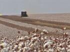 Queda na produção em MT encarece em 25% o valor do algodão