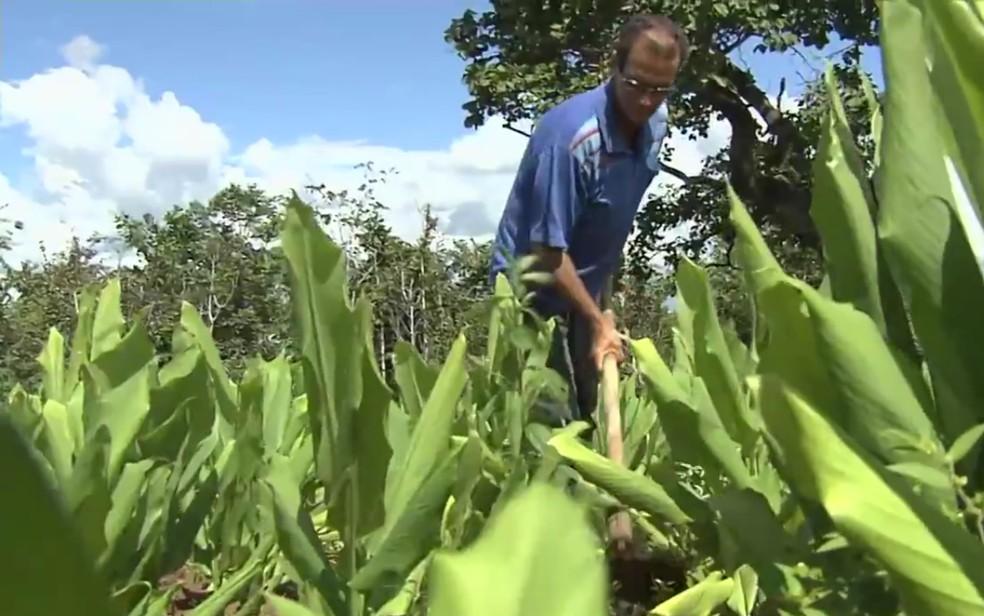 Mara Rosa é o município que mais produz açafrão no país (Foto: Reprodução/TV Anhanguera)