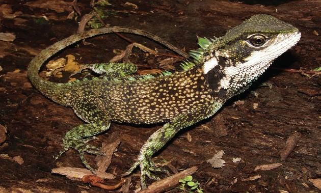 Um espécime adulto do lagarto 'Enyalioides sophiarothschildae', que foi encontrado no Peru (Foto: Divulgação/Instituto Smithsonian)