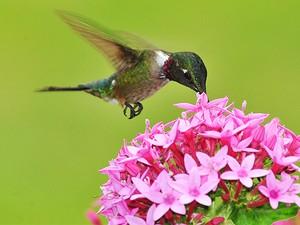 Beija-flor-de-orelha-violeta (Foto: Rudimar Narciso Cipriani)