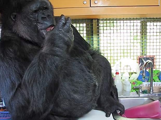 Gorila Koko emite som parecido com a tosse humana (Foto: Reprodução/YouTube/UW-Madison Campus Connection)