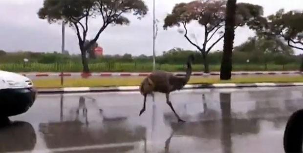 Emu invadiu no domingo (4) rodovia movimentada em Israel (Foto: Reprodução/YouTube/The News)