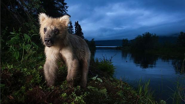 Entre as imagens selecionadas está a deste jovem urso pardo, que levou menção honrosa na categoria 'retratos animais'; a imagem foi feita no Alasca (Foto: Jonny Armstrong/BBC Wildlife Magazine)