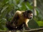 Vírus da zika é encontrado em saguis e macacos-prego no interior do Ceará