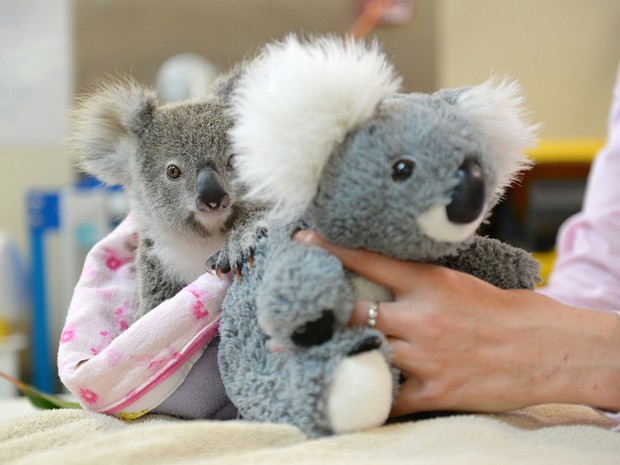 A coala Shayne com o bicho de pelúcia que a está ajudando a superar o trauma da perda da mãe (Foto: Ben Beaden/Australia Zoo/AFP)