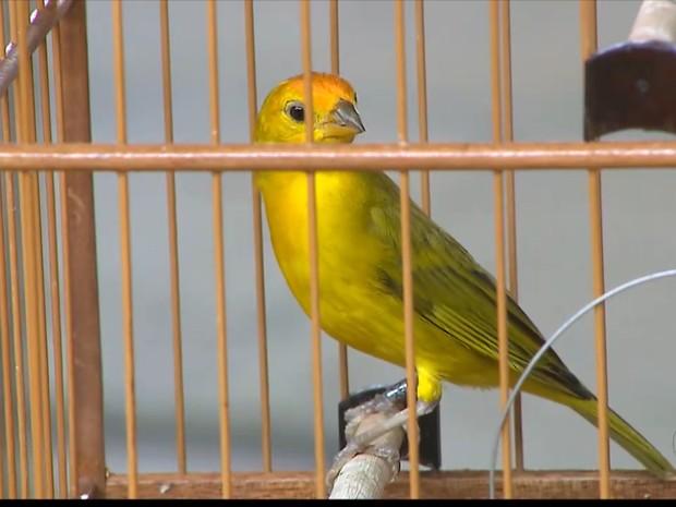 Competição de canto de pássaros ocorreu em João Pessoa (Foto: Reprodução/TV Cabo Branco)