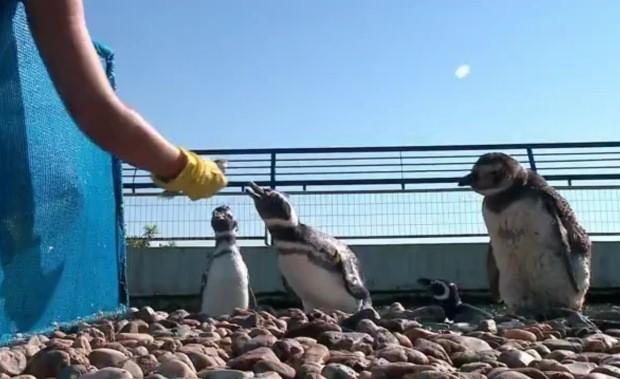 Pinguins recebem alimentação durante tratamento (Foto: Reprodução/RBS TV)