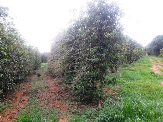Lavoura de café amargou prejuízo de 30% na safra plantada em 2014 e colhida em 2015 (Foto: Sindicato Rural/Divulgação)