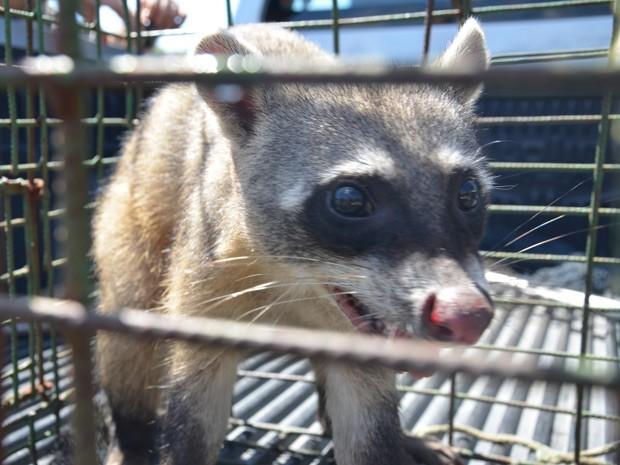 Guaxinim estava em cima de uma mangueira, no bairro de Mangabeira (Foto: Walter Paparazzo/G1)