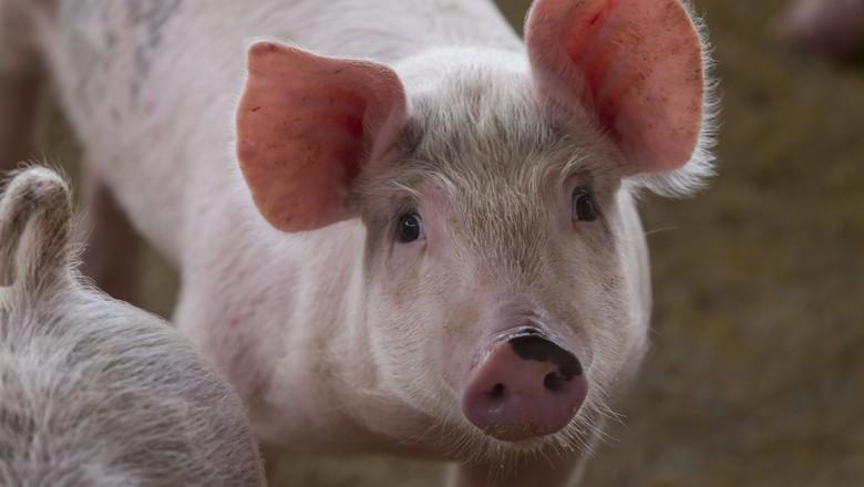 suínos_porco (Foto: Rogério Albuquerque/Ed. Globo)