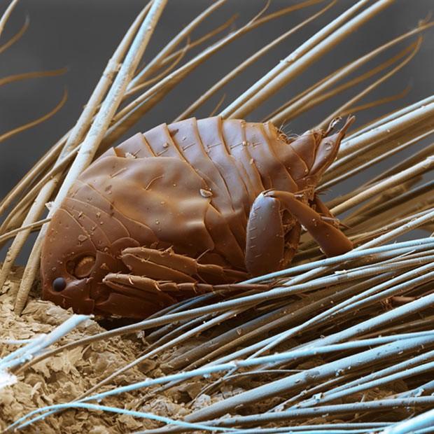 A foto mostra uma pulga de areia macho na pele do seu hospedeiro (Foto: SPL/Barcroft Media /Sinclair Stammers)