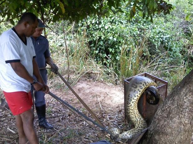 Produtor rural e Bombeiros imobilizaram sucuri (Foto: Divulgação / Corpo de Bombeiros)