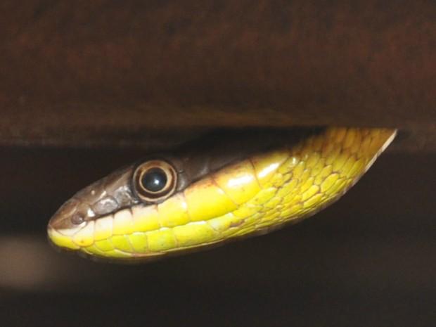Cobra-cipó é encontrada embaixo de carro estacionado em Campo Grande (Foto: Lucas Lourenço/ G1 MS)