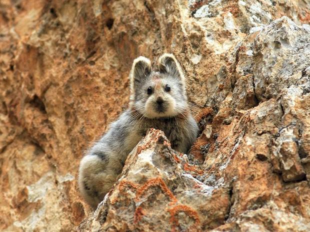 Rara foto de exemplar de pika-de-Ili foi fotografado em 2014 pelo cientista Weidong Li no noroeste da China  (Foto: Li Weidong/Wikimedia Commons)