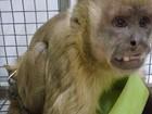 Macaco-prego é resgatado após ficar quatro anos acorrentado em cativeiro