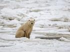 Cientistas passam duas semanas cercados por ursos polares no Ártico