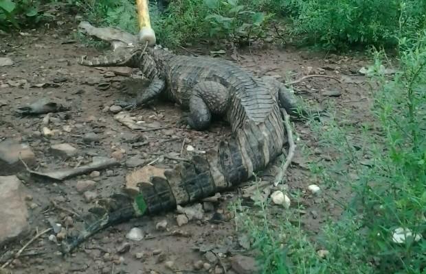 Jacaré de 1 metro é encontrado em quintal de casa em Jaraguá Goiás (Foto: Divulgação/Bombeiros)