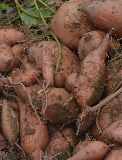 agricultura_batata-doce_redebiofort (Foto: Raphael Santos/Rede BioFORT)