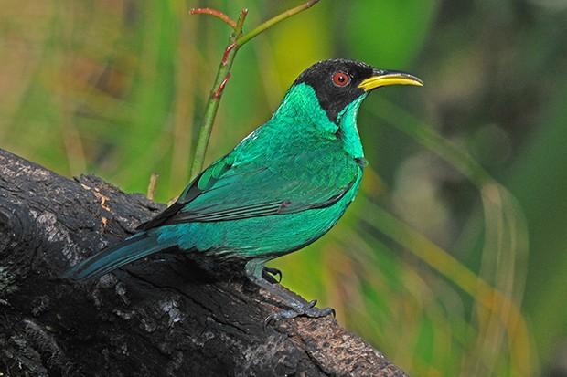 saí-verde (Chlorophanes spiza) (Foto: Rudimar Narciso Cipriani)