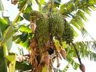 Internauta fotografa 'curioso' pé de banana com quatro cachos no Paraná
