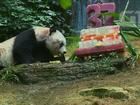 Panda completa 37 anos e se torna o mais velho do mundo em cativeiro