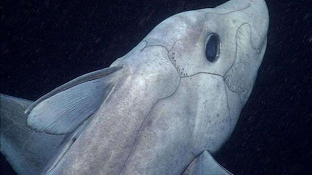(Foto: Divulgação/ Instituto de Pesquisa do Aquário da Baía de Monterey)