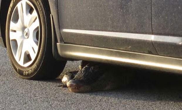 Jacaré ficou preso debaixo de carro na Flórida (Foto: Reprodução/YouTube/NBC2 News)