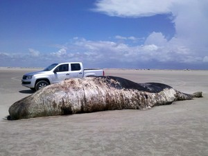 Baleia cachalote tem 10 metros de comprimento (Foto: Divulgação)