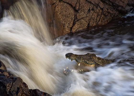 Um crocodilo de boca aberta espera que um peixe caia na sua boca, na Tanzânia  (Foto: © Mikael Castro)