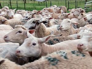 Consumo de carne de cordeiro era comum somente no fim de ano  (Foto: Reprodução/TV TEM)