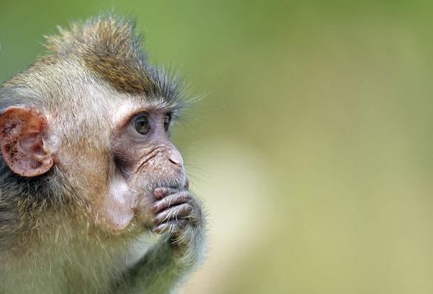 Um macaco foi fotografado em um momento pensador na segunda-feira (25) em um parque em Cingapura (Foto: Wong Maye-E/AP)