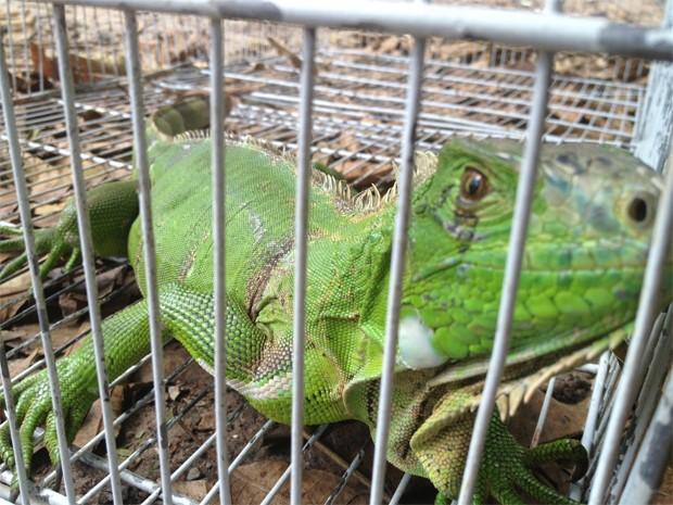Iguana também foi recebida pela PM Ambiental e foi encaminhada ao Cetas (Foto: Walter Paparazzo/G1)