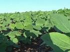 Clima ajuda e produtores de soja de MS estão otimistas
