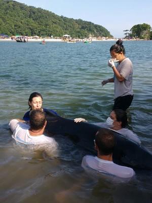 Equipe presta suporte ao golfinho encalhado (Foto: Divulgação)