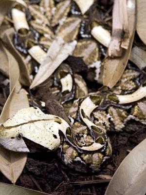 Víbora do Gabão se camufla muito bem no solo (Foto: Guido Westhoff/Divulgação)